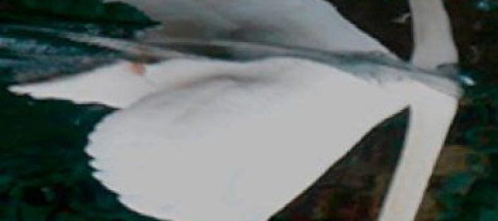 Sansonnets, un cygne à l'envers / Pierre Thiry